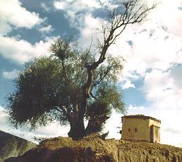 성 아우구스티누스 올리브 나무